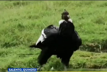 En Quindío hay 47 especies de aves en amenaza, CRQ trabaja para garantizar su hábitat en áreas de conservación