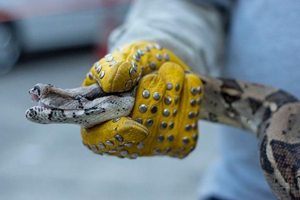 CRQ iniciará estudios en cinco veredas de La Tebaida,Quindío, sobre presencia de boas constrictor
