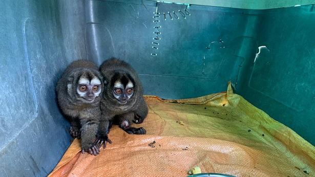 Siete especímenes de la fauna silvestre regresarán a su hábitat natural en el Quindío