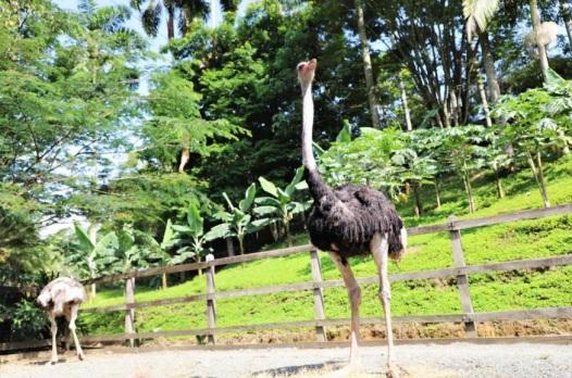 Avestruces rescatados por Policía ambiental en Pereira serán cuidados en PANACA
