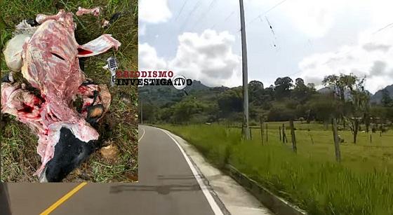 En zona rural de Buenavista, Quindío, sacrificaron y hurtaron carne de tres vacas y dos novillos